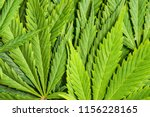 green cannabis leaves. closeup... | Shutterstock . vector #1156228165