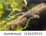 Common newt or smooth newt, Lissotriton vulgaris, male freshwater amphibian in breeding water form, biotope aquarium, closeup nature photo