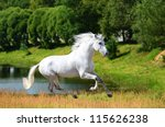 White Andalusian Horse  Pura...