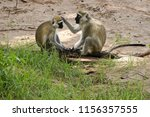 Black-faced vervet monkeys grooming each other, Samburu Game Reserve, Kenya
