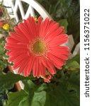 gerbera naranja  orange gerbera | Shutterstock . vector #1156371022