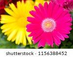 close up pink gerbera flower in ... | Shutterstock . vector #1156388452