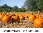 orange pumpkins at outdoor farmer market. pumpkin patch.  Copy space for your text