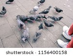 close up shot of pigeons and...   Shutterstock . vector #1156400158