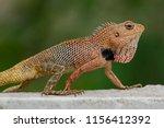 oriental garden lizard  eastern ...   Shutterstock . vector #1156412392