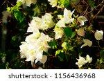 bougainvillea bright flowers... | Shutterstock . vector #1156436968