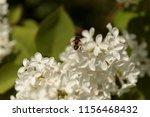 shaggy bee collecting pollen on ... | Shutterstock . vector #1156468432