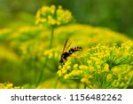 wasp on dill flower. the insect ... | Shutterstock . vector #1156482262