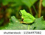 green frog on a green leaf. far ... | Shutterstock . vector #1156497082