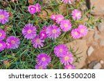 closeup of pink hardy ice plant.... | Shutterstock . vector #1156500208