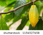 cacao tree  theobroma cacao .... | Shutterstock . vector #1156527658