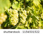 bunches of white wine grapes    Shutterstock . vector #1156531522