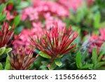 beauty red ixora on blur... | Shutterstock . vector #1156566652