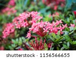 beauty red ixora on blur... | Shutterstock . vector #1156566655