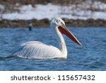 dalmatian pelican in winter ... | Shutterstock . vector #115657432