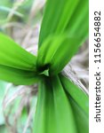 fresh green leaves of pandanus...   Shutterstock . vector #1156654882