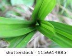 fresh green leaves of pandanus...   Shutterstock . vector #1156654885