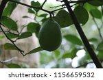 fresh green  lemon  citrus... | Shutterstock . vector #1156659532