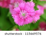 Close-up on pink flowers - stock photo