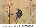 common reed bunting. cute... | Shutterstock . vector #1156704802
