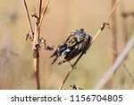 common reed bunting. cute... | Shutterstock . vector #1156704805