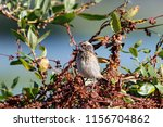 whinchat young sitting on bush. ... | Shutterstock . vector #1156704862