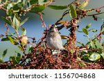whinchat young sitting on bush. ... | Shutterstock . vector #1156704868
