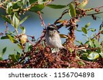 whinchat young sitting on bush. ... | Shutterstock . vector #1156704898