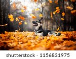 Stock photo the dog lies in the foliage east european shepherd flying leaves autumn 1156831975