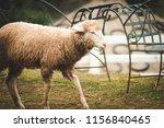 cute funny happy sheep at...