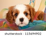 Stock photo cavalier puppy sitting inside blue basket with tie dye pattern ribbon on beige background 115694902