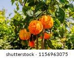 orange citrus fruits grow on a... | Shutterstock . vector #1156963075