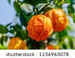 orange citrus fruits grow on a... | Shutterstock . vector #1156963078