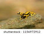 salamandra salamandra... | Shutterstock . vector #1156972912