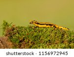 salamandra salamandra... | Shutterstock . vector #1156972945