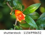 Bright Orange Calyx Of...