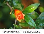 Bright Orange Calyx Of...