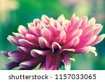 botanical flower  beautiful and ... | Shutterstock . vector #1157033065