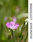 botanical flower  beautiful and ... | Shutterstock . vector #1157033068