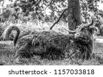animal cow   holland yak. black ... | Shutterstock . vector #1157033818