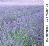 fields of lavender  lavandula... | Shutterstock . vector #1157038405