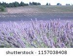 fields of lavender  lavandula... | Shutterstock . vector #1157038408