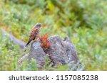 wildlife uk.kestrel  falco...   Shutterstock . vector #1157085238