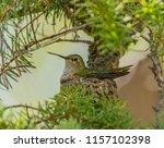 Hummer Habitat   A Mother Broa...