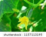 flower of cucumber. on small... | Shutterstock . vector #1157113195