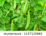 pea pods in the ripening... | Shutterstock . vector #1157125882