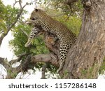 leopard lying in a tree in the... | Shutterstock . vector #1157286148