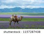 camel in the flowers mini gobi... | Shutterstock . vector #1157287438