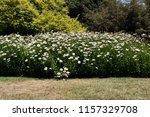 beautiful flowerbed of... | Shutterstock . vector #1157329708