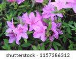 flower blooming in the summer | Shutterstock . vector #1157386312